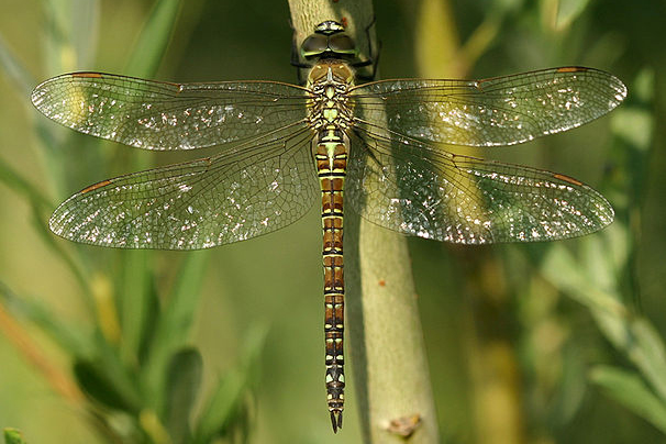 Aeshna-affinis-female-